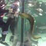 A Green Moray Eel comes to feed.