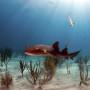 Nurse shark amongst the coral.
