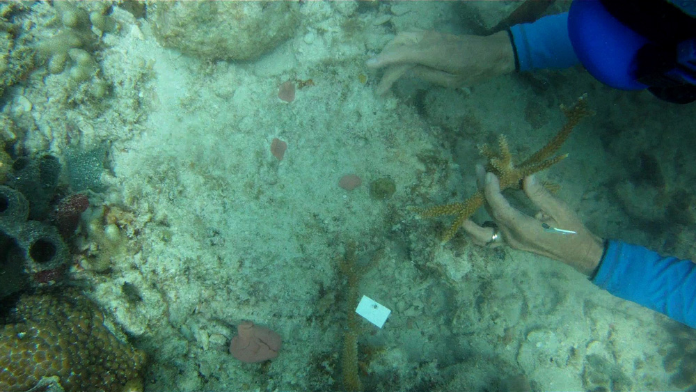 Florida Keys Aquarium Encounters Coral Restoration