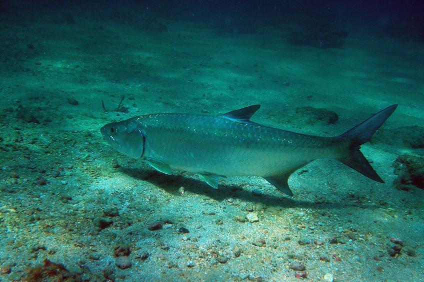 Tarpon Florida Keys Aquarium Encounters