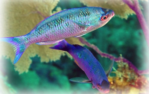 Creole-Wrasse