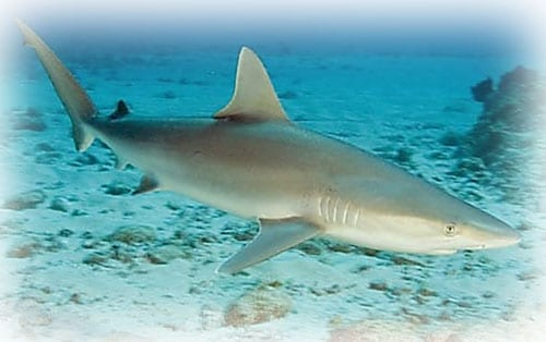 blacknose-shark
