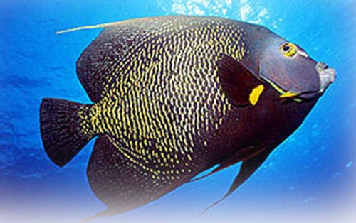 french-angelfish