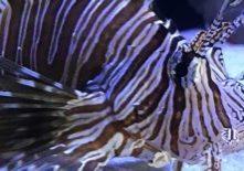 lionfish-edit-3